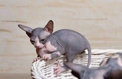 Pocos gatos de Sphynx en el borde de la cesta de madera Imagenes de archivo