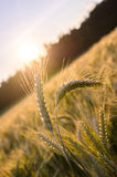 Pocos oídos del trigo que se colocan fuera de campo de trigo Imagen de archivo libre de regalías
