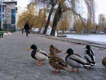 Pocos patos en la calle de la ciudad Fotos de archivo
