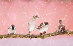 Pocos pequeños pájaros divertidos del gorrión que se sientan en una rama en el parque Foto de archivo libre de regalías