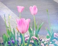 Pocos tulipanes imagenes de archivo