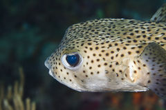 Pocupine fish Stock Photography