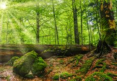 Początkowy las Rothwald w Austria zdjęcie royalty free