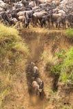 Początek wielka migracja Stada wildebeest na Mara rzece Kenja, Afryka obrazy stock