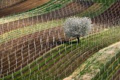 Początek wiosna i biały kwiatonośny drzewo w winnicach Południowy Moravia cesky krumlov republiki czech miasta średniowieczny sta obraz stock