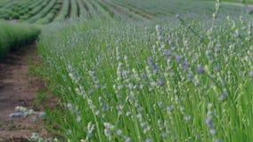 Początkowy okwitnięcie narastająca lawenda na polu, rolnictwo zbiory