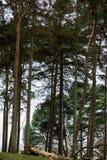 Początek wiosna w Angielskim parku lub lesie Fotografia Royalty Free