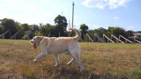 Podąża labrador lub golden retriever jogging na łące i merda ogon Piękny psi odprowadzenie na gazonie i zbiory
