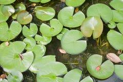 Pod światłem słonecznym zielony liść Zdjęcie Royalty Free