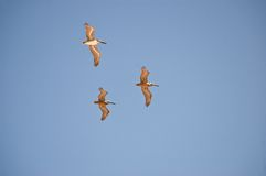 Pod of 3 Brown Pelicans (1) Royalty Free Stock Images