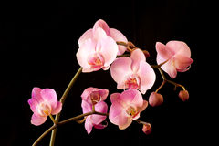 Pod of blooming orchids Royalty Free Stock Image