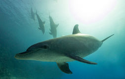 Pod of Bottlenose  Dolphins in the Red Sea Stock Images