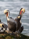 A Pod of Brown Pelicans, Pelecanus occidentalis Stock Photos