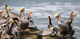 A Pod of Brown Pelicans, Pelecanus occidentalis Royalty Free Stock Photo