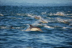 Pod of Common Dolphins Stock Image