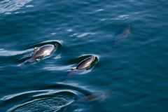 Pod of dolphin swim together in water in spring. Pod of dolphin swim and play in the waters of puget sound in washington stock photo