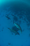 Pod of dolphins from above Royalty Free Stock Images