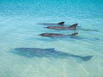Pod of dolphins at beach at monkey mia. Family of dolphins near the beach at monkey mia royalty free stock images