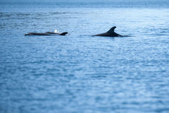 A pod of dolphins Stock Photography