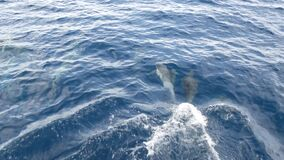 Pod of dolphins in freedom, pacific ocean blue water. School of wild animals in sea. California USA.