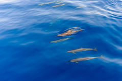 Pod of dolphins swimming in the sea Royalty Free Stock Image