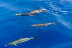 Pod of dolphins swimming in the sea Stock Images