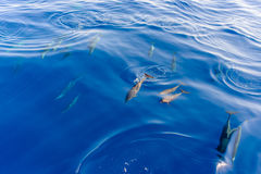 Pod of dolphins swimming in the sea Stock Photos