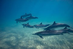 Wild playful dolphins underwater in deep blue ocean. Pod of dolphins traveling along shoreline in blue ocean water. Blue water and sandy bottom Stock Photos