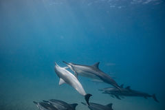Wild playful dolphins underwater in deep blue ocean. Pod of dolphins traveling along shoreline in blue ocean water. Blue water and sandy bottom Royalty Free Stock Photos