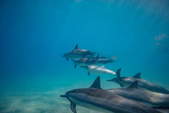 Wild dolphins underwater in deep blue ocean. Pod of dolphins traveling along shoreline in blue ocean water. Blue water and sandy bottom Stock Photo
