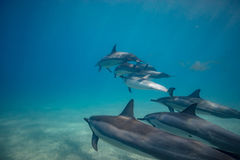 Wild dolphins underwater in deep blue ocean. Pod of dolphins traveling along shoreline in blue ocean water. Blue water and sandy bottom Royalty Free Stock Photo