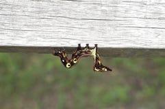 pod drewnem larwy ćma Zdjęcie Royalty Free