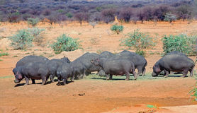 A Pod of hippo's feeding on the dry plains in Erindi Stock Photo