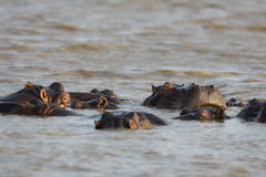 A pod of Hippo at sunset Royalty Free Stock Image