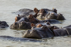 A pod of Hippo at sunset Stock Images