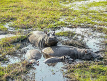 Pod of hippopotami resting in shallow water.