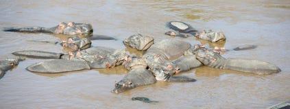 Pod of hippopotamus stock image