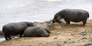 Pod hippopotamuses basking on beach Stock Photo