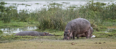 Pod of hippopotamuses Stock Photos