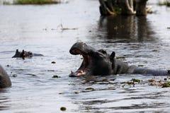 Pod of Hippopotamuses. In the Okavango Delta Botswana hippos live together in big families stock photos