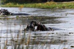 Pod of Hippopotamuses. In the Okavango Delta Botswana hippos live together in big families stock photography