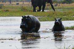 Family of Hippopotamuses Stock Image