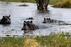 Pod of Hippopotamuses Stock Photography