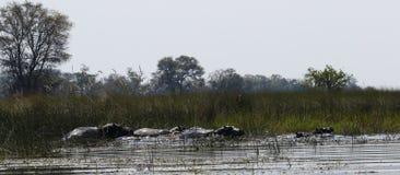Pod of Hippopotamuses. In the Okavango Delta Botswana hippos live together in big families stock images