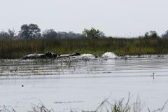 Pod of Hippopotamuses Royalty Free Stock Photography