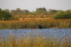 Pod of Hippopotamuses Royalty Free Stock Images