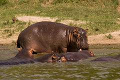 Pod of hippos. A pod of hippopotami cooling in the Kazinga Channel, Uganda stock images