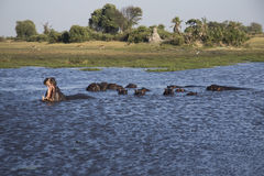 Pod of hippos in a lake. Royalty Free Stock Photos