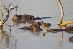 Pod of hippos relaxing in a dam Royalty Free Stock Image
