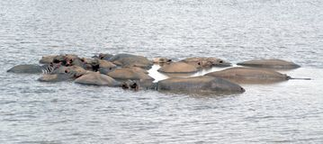 A pod of Hippos in a river Royalty Free Stock Image